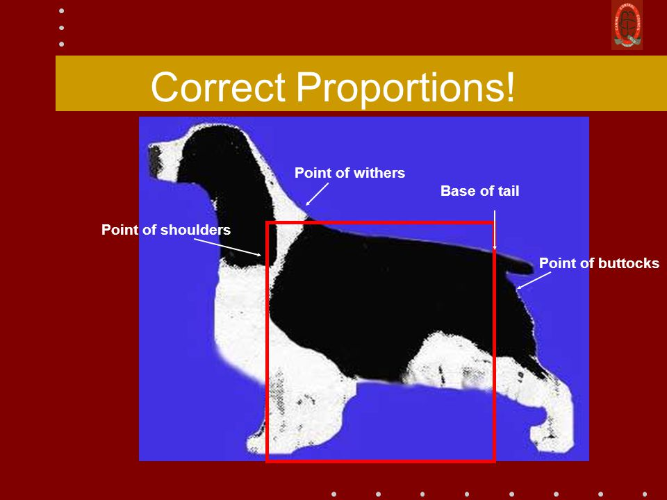 Correct Proportions! Point of withers Base of tail Point of buttocks Point of shoulders