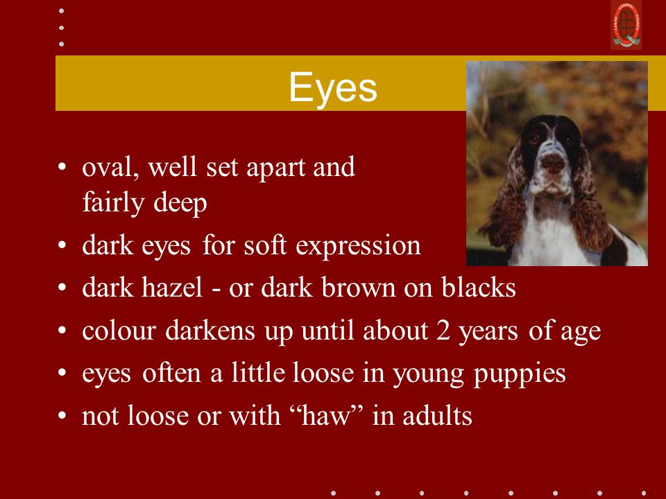 Eyes oval, well set apart and fairly deep dark eyes for soft expression dark hazel - or dark brown on blacks colour darkens up until about 2 years of age eyes often a little loose in young puppies not loose or with haw in adults