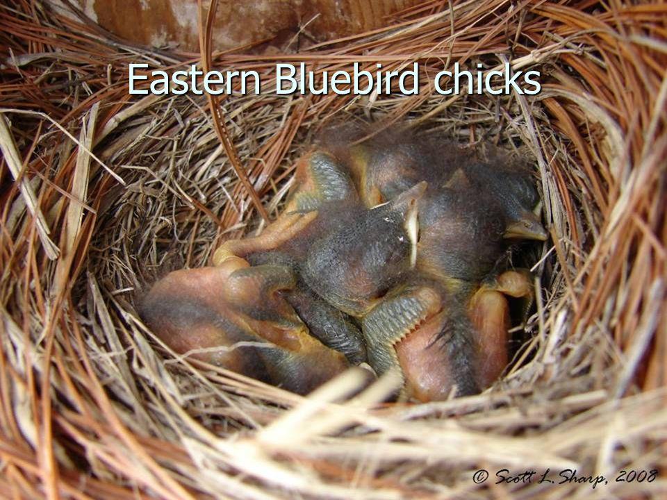 Eastern Bluebird chicks
