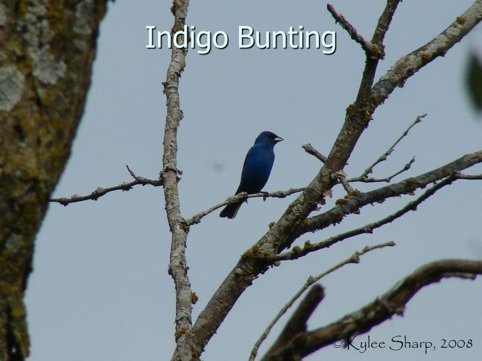Indigo Bunting