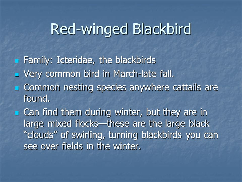 Family: Icteridae, the blackbirds Family: Icteridae, the blackbirds Very common bird in March-late fall.