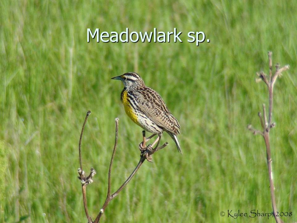 Meadowlark sp.