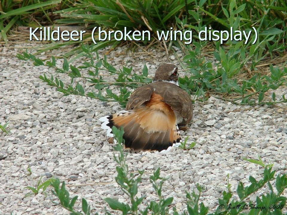 Killdeer (broken wing display)