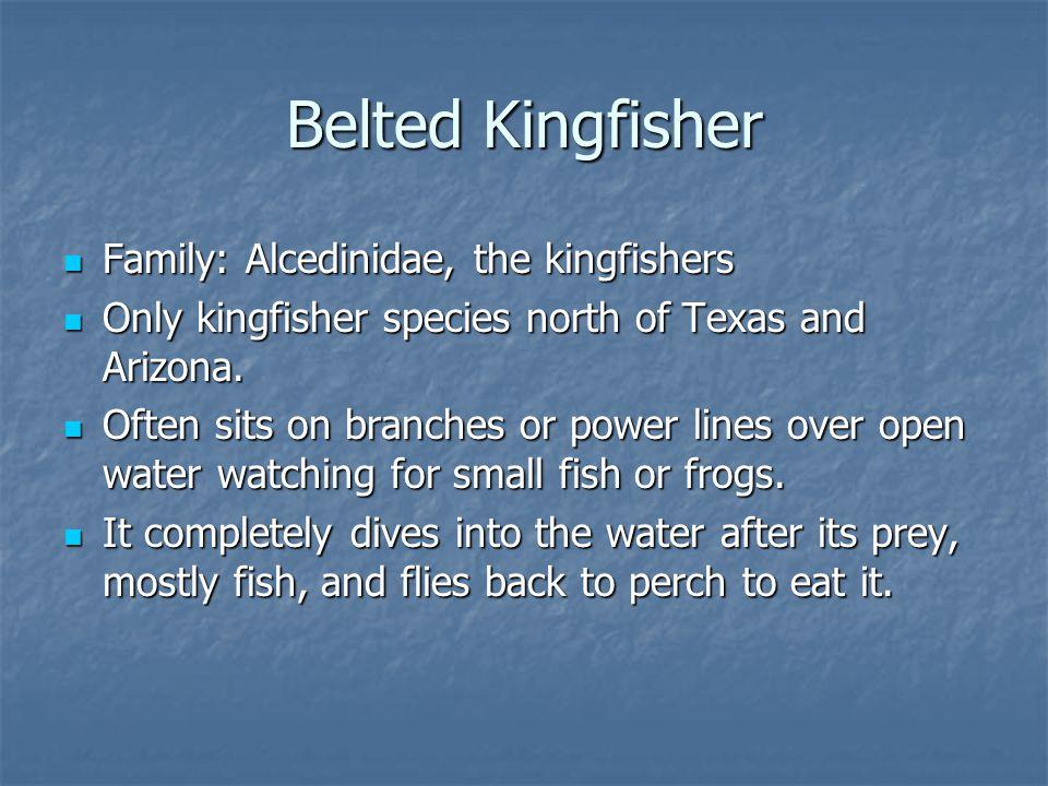 Family: Alcedinidae, the kingfishers Family: Alcedinidae, the kingfishers Only kingfisher species north of Texas and Arizona.
