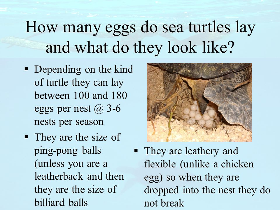 How many eggs do sea turtles lay and what do they look like?  Depending on the kind of turtle they can lay between 100 and 180 eggs per nest @ 3-6 ne