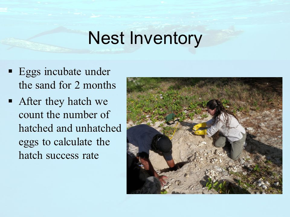 Nest Inventory  Eggs incubate under the sand for 2 months  After they hatch we count the number of hatched and unhatched eggs to calculate the hatch