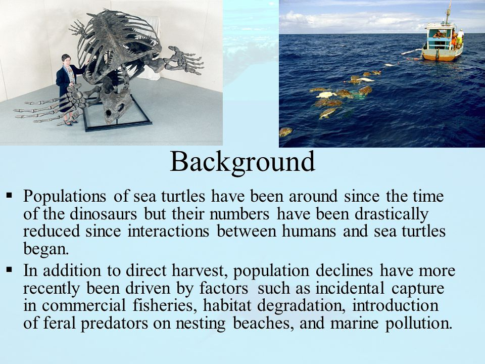Background  Populations of sea turtles have been around since the time of the dinosaurs but their numbers have been drastically reduced since interactions between humans and sea turtles began.