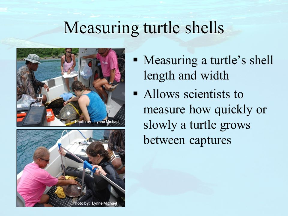 Photo by: Lynne Michael Measuring turtle shells  Measuring a turtle's shell length and width  Allows scientists to measure how quickly or slowly a t