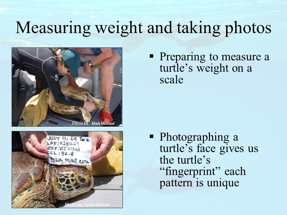 Measuring weight and taking photos  Preparing to measure a turtle's weight on a scale  Photographing a turtle's face gives us the turtle's fingerprint each pattern is unique Photo by: Mark Michael Photo by: Lynne Michael