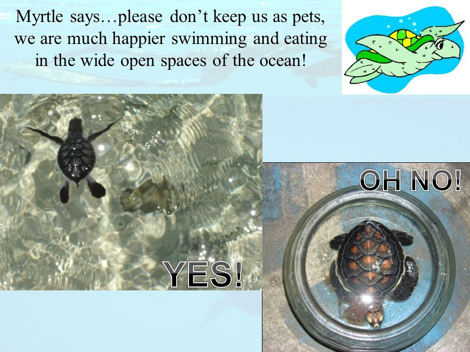 Myrtle says…please don't keep us as pets, we are much happier swimming and eating in the wide open spaces of the ocean!