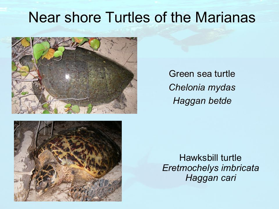 Near shore Turtles of the Marianas Green sea turtle Chelonia mydas Haggan betde Hawksbill turtle Eretmochelys imbricata Haggan cari