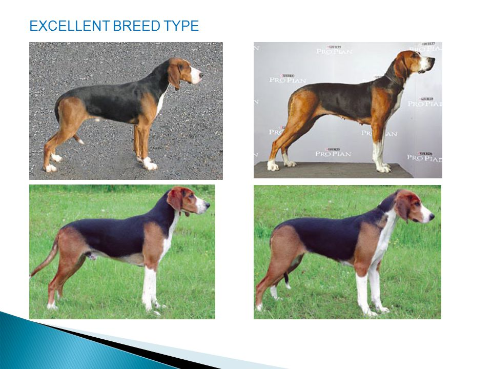 EXCELLENT BREED TYPE