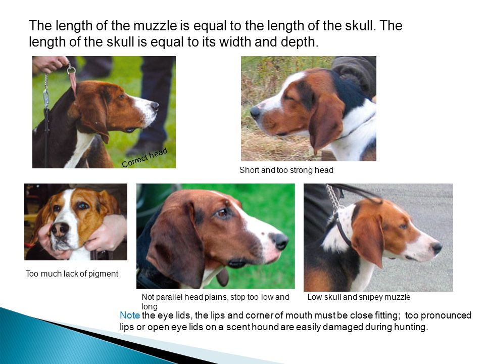 The length of the muzzle is equal to the length of the skull. The length of the skull is equal to its width and depth. Low skull and snipey muzzle Sho
