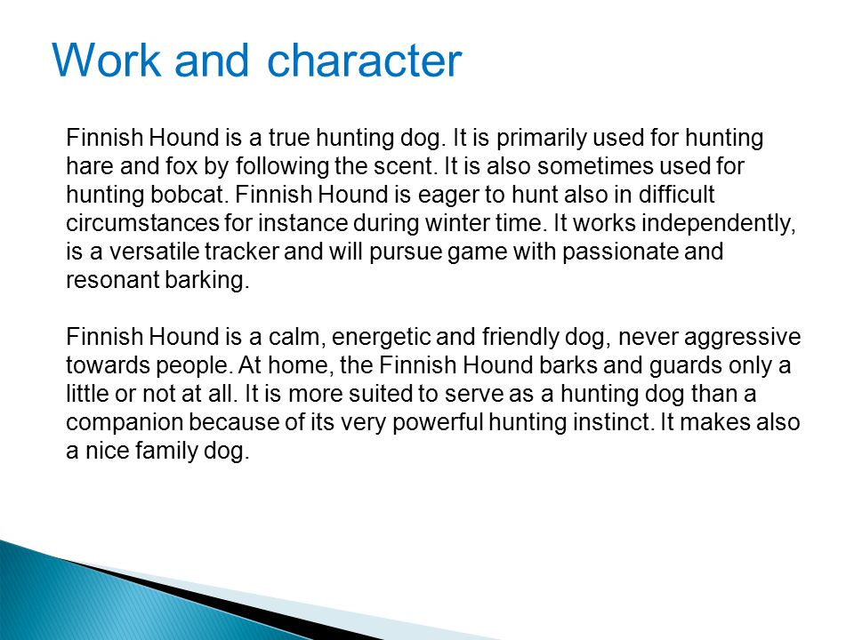 Work and character Finnish Hound is a true hunting dog. It is primarily used for hunting hare and fox by following the scent. It is also sometimes use