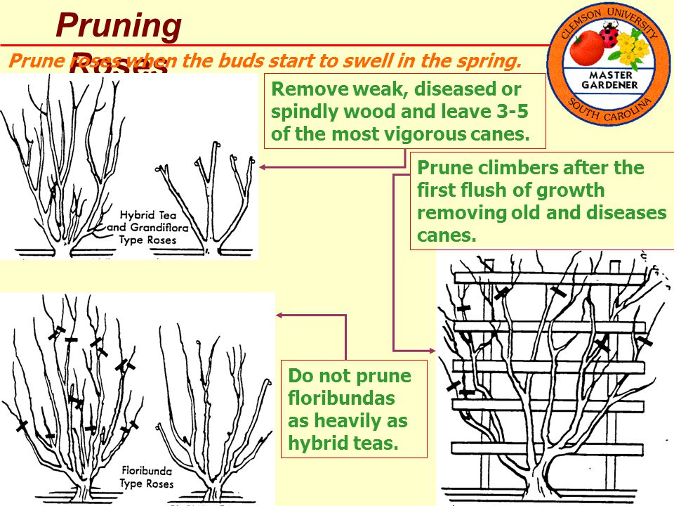 Pruning Roses Prune roses when the buds start to swell in the spring.