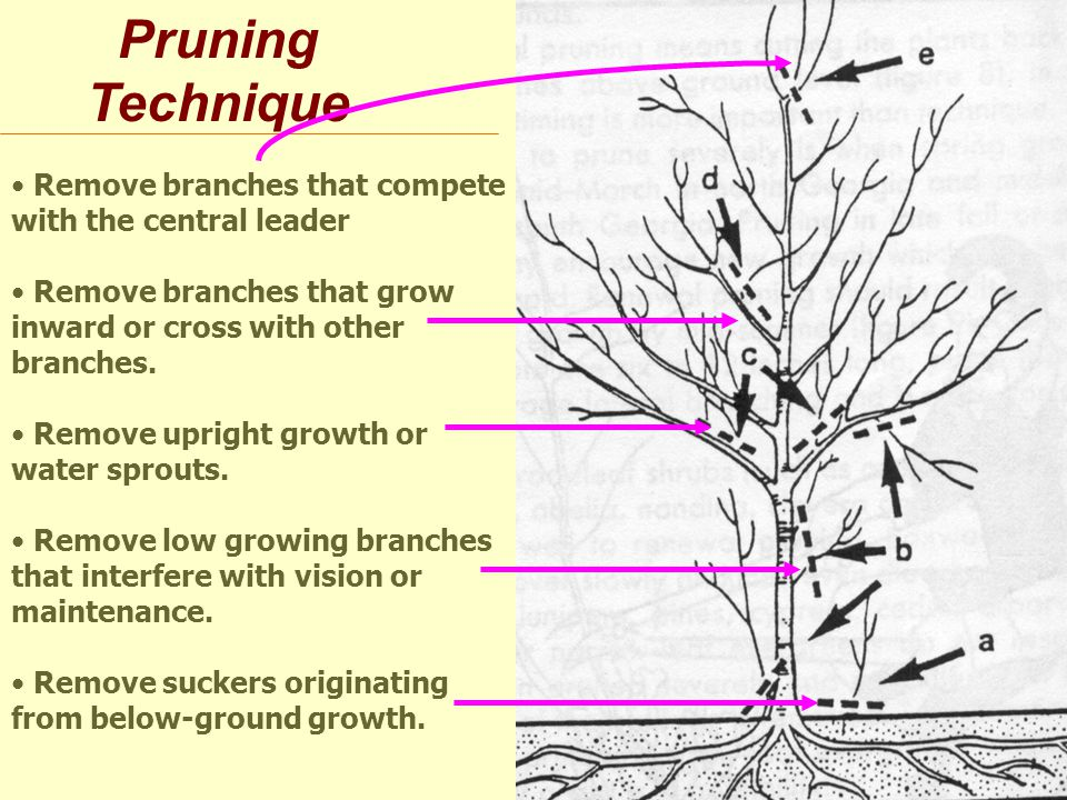 Pruning Technique Remove branches that compete with the central leader Remove branches that grow inward or cross with other branches.