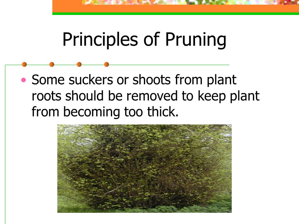 Methods of Pruning Thinning Removal of certain branches to open up the plant and keep the natural shape.