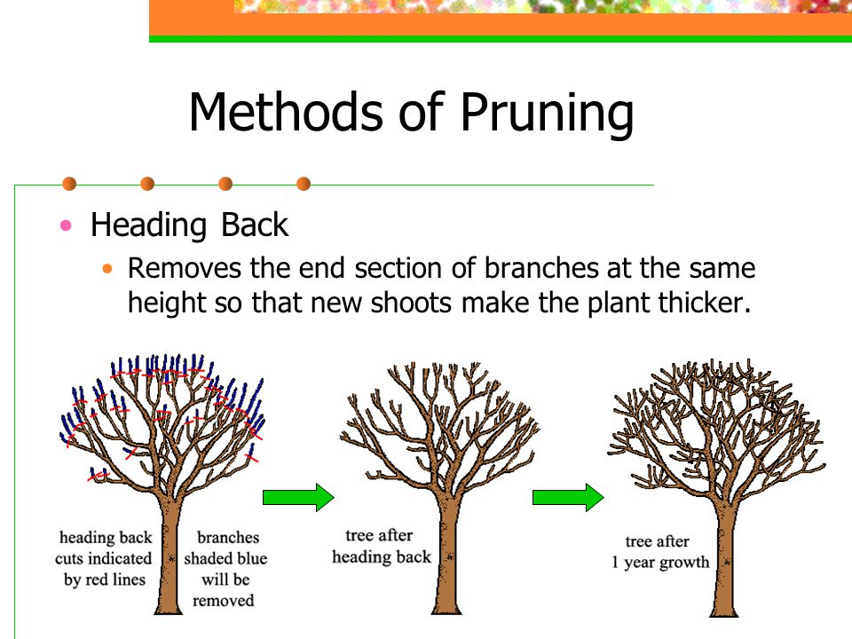 Methods of Pruning Renewal Pruning Removes old branches that are large and unproductive by cutting them back to ground level.
