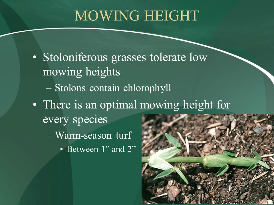 MOWING HEIGHT Stoloniferous grasses tolerate low mowing heights –Stolons contain chlorophyll There is an optimal mowing height for every species –Warm-season turf Between 1 and 2