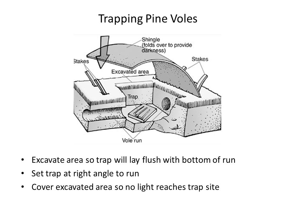 Trapping Pine Voles Excavate area so trap will lay flush with bottom of run Set trap at right angle to run Cover excavated area so no light reaches tr