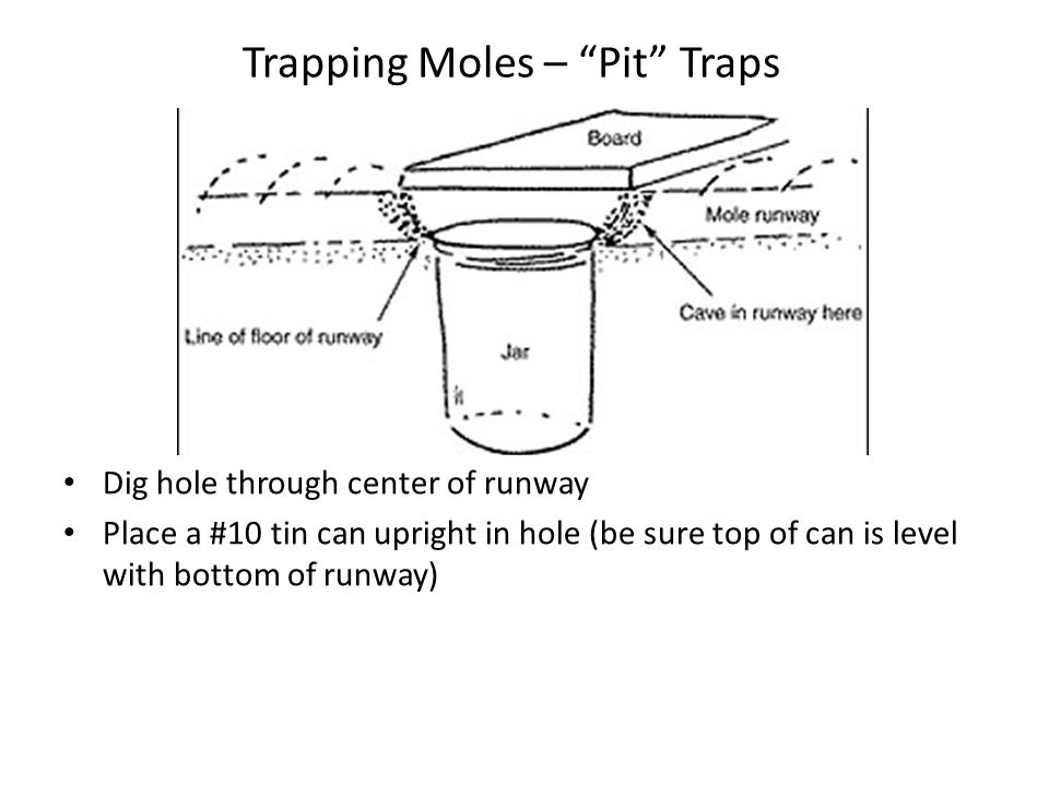 "Trapping Moles – ""Pit"" Traps Dig hole through center of runway Place a #10 tin can upright in hole (be sure top of can is level with bottom of runway)"
