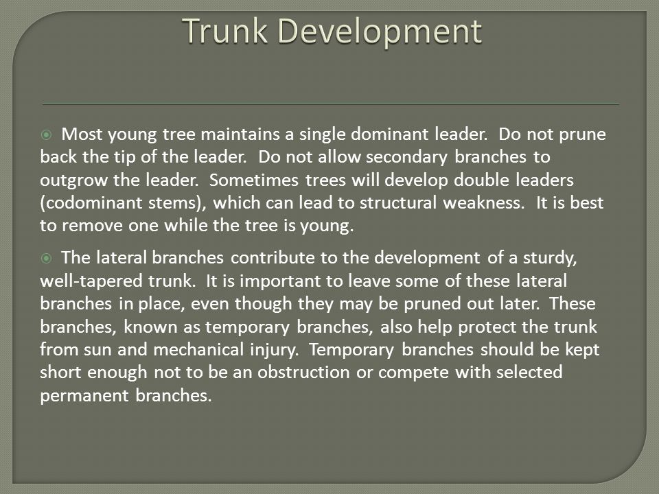  Most young tree maintains a single dominant leader.