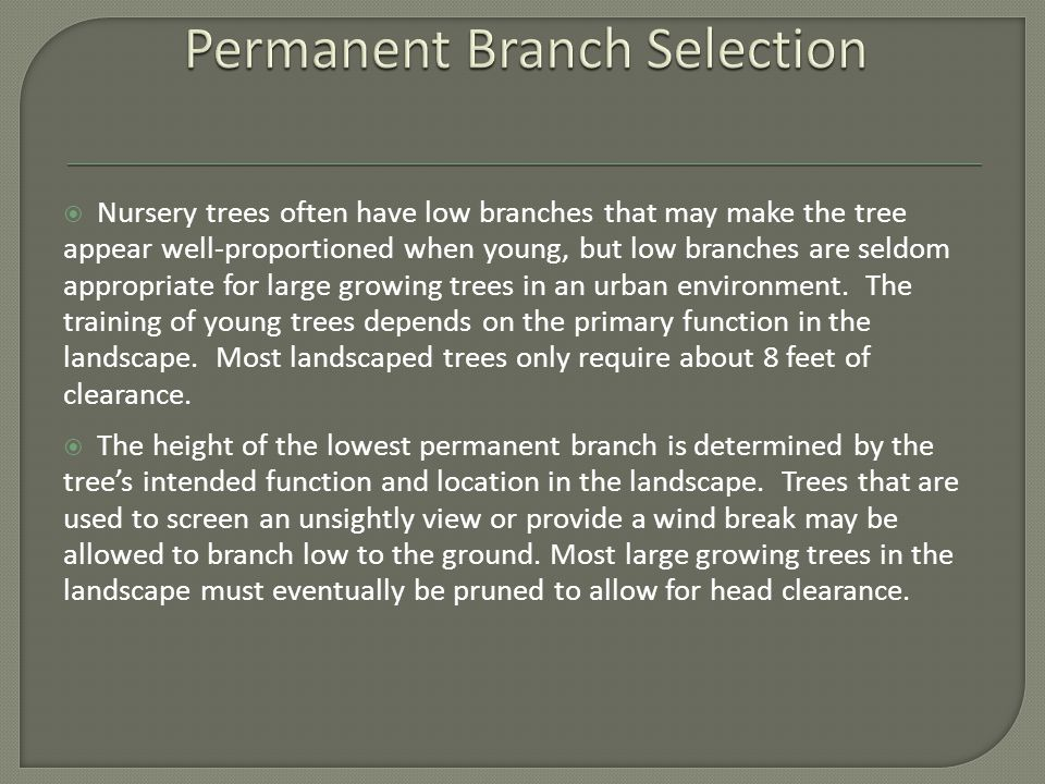  Nursery trees often have low branches that may make the tree appear well-proportioned when young, but low branches are seldom appropriate for large growing trees in an urban environment.
