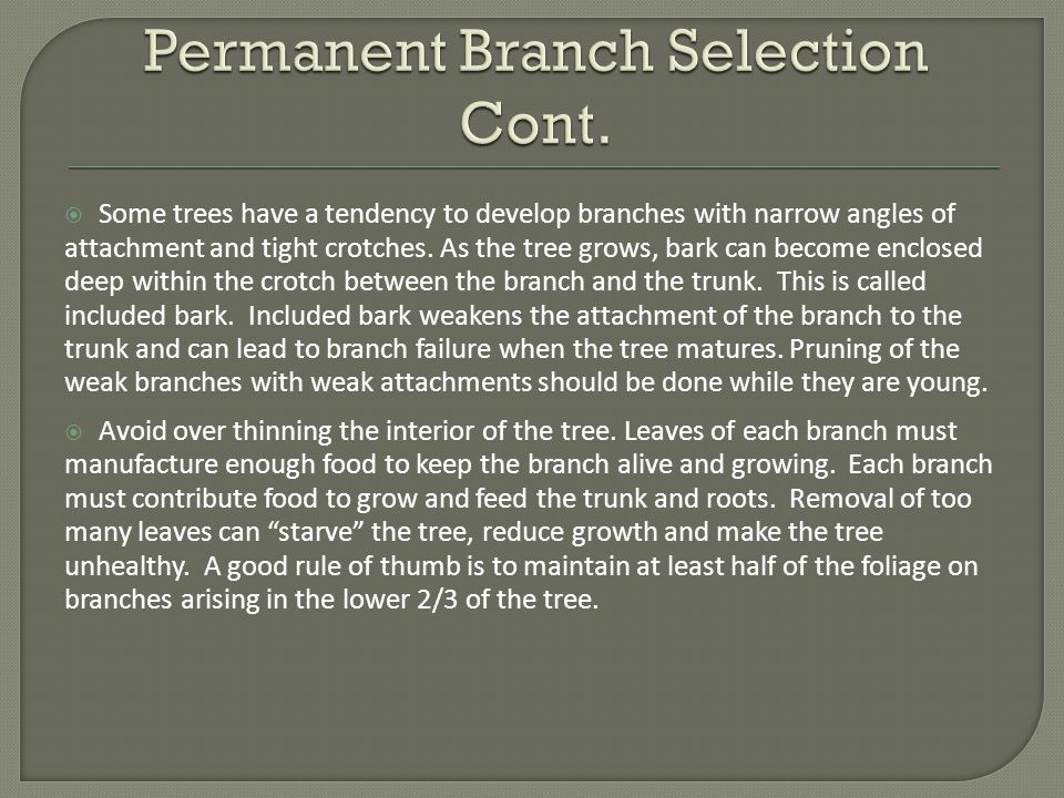  Some trees have a tendency to develop branches with narrow angles of attachment and tight crotches.