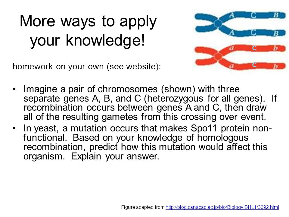 More ways to apply your knowledge! homework on your own (see website): Imagine a pair of chromosomes (shown) with three separate genes A, B, and C (he