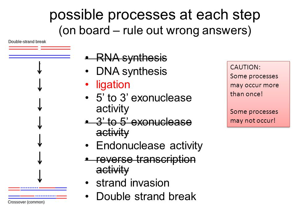 possible processes at each step (on board – rule out wrong answers) RNA synthesis DNA synthesis ligation 5' to 3' exonuclease activity 3' to 5' exonuc