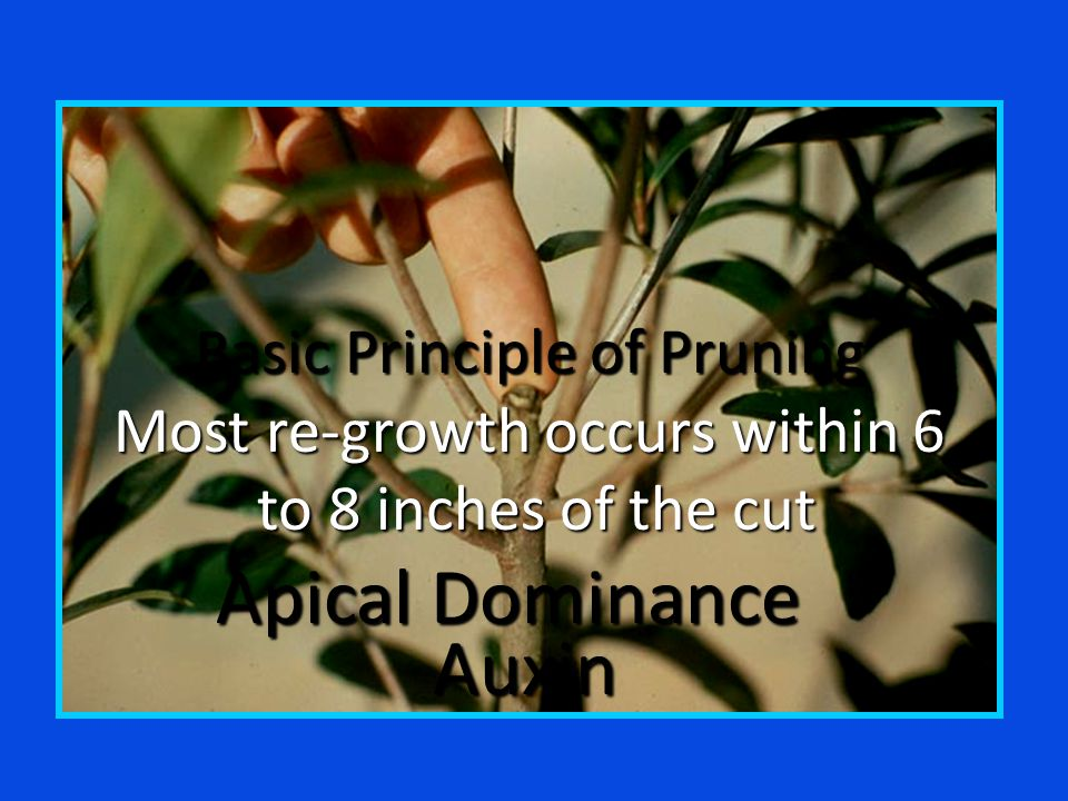 Basic Principle of Pruning Most re-growth occurs within 6 to 8 inches of the cut to 8 inches of the cut Apical Dominance Auxin