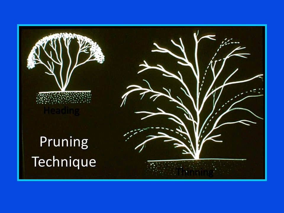PruningTechnique Heading Thinning