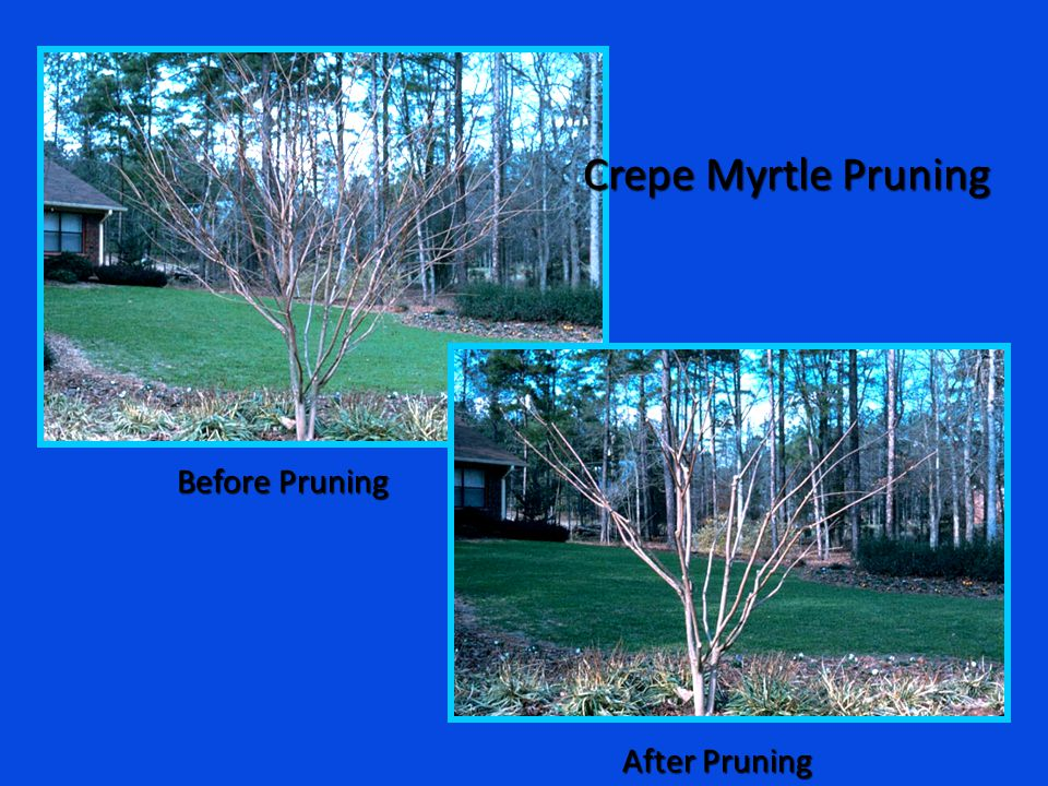 Crepe Myrtle Pruning Before Pruning After Pruning