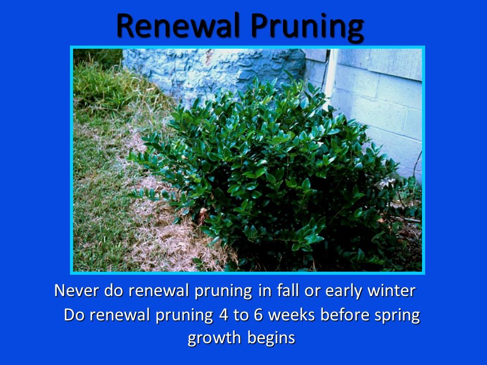 Renewal Pruning Never do renewal pruning in fall or early winter Do renewal pruning 4 to 6 weeks before spring growth begins