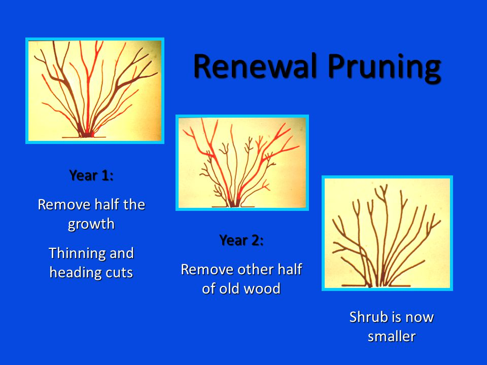 Year 1: Remove half the growth Thinning and heading cuts Year 2: Remove other half of old wood Shrub is now smaller Renewal Pruning