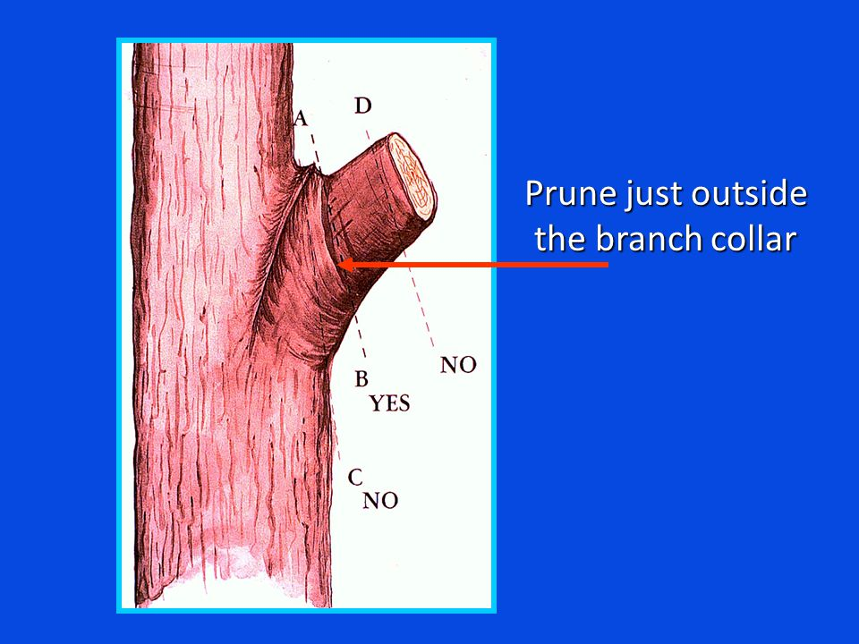 Prune just outside the branch collar