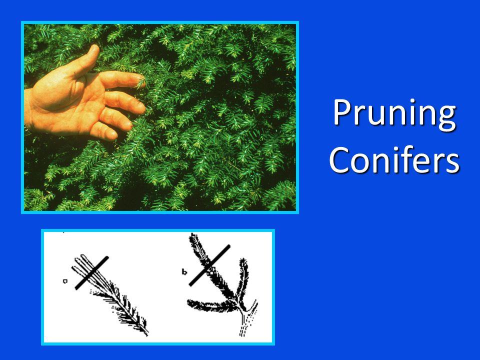 PruningConifers