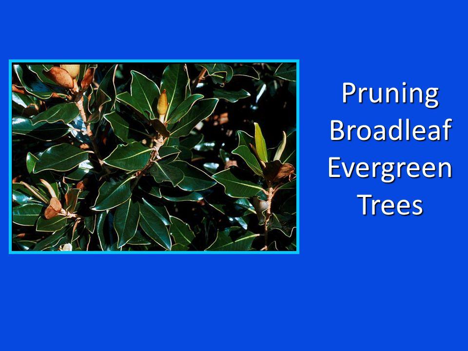 PruningBroadleafEvergreenTrees