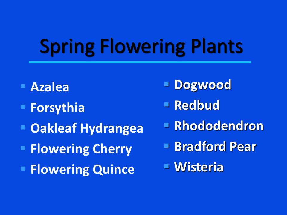 Spring Flowering Plants  Azalea  Forsythia  Oakleaf Hydrangea  Flowering Cherry  Flowering Quince  Dogwood  Redbud  Rhododendron  Bradford Pear  Wisteria