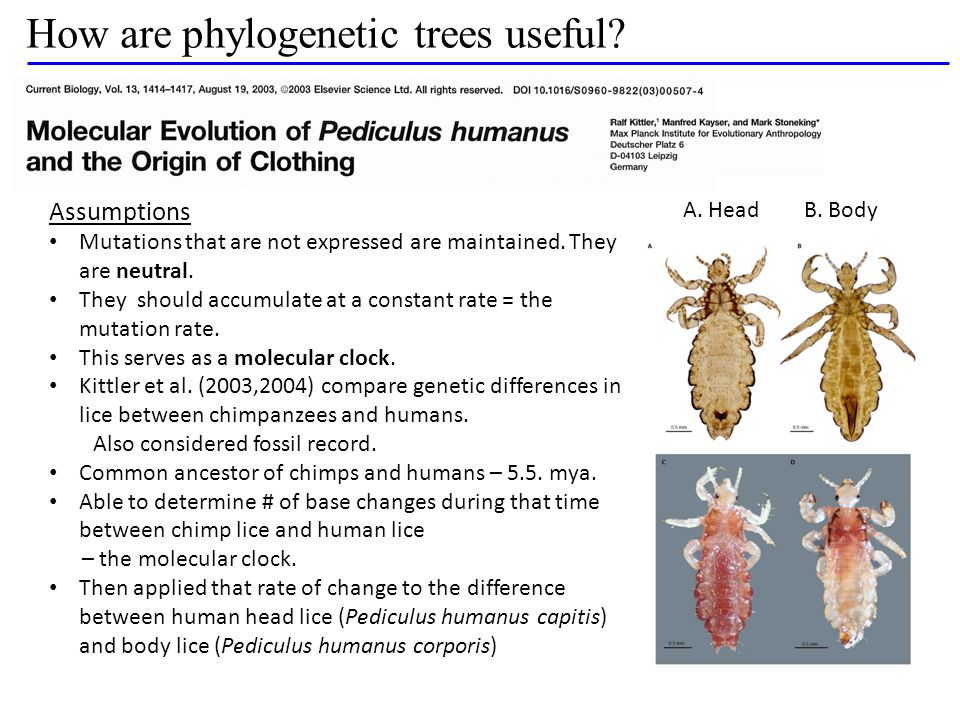 How are phylogenetic trees useful.