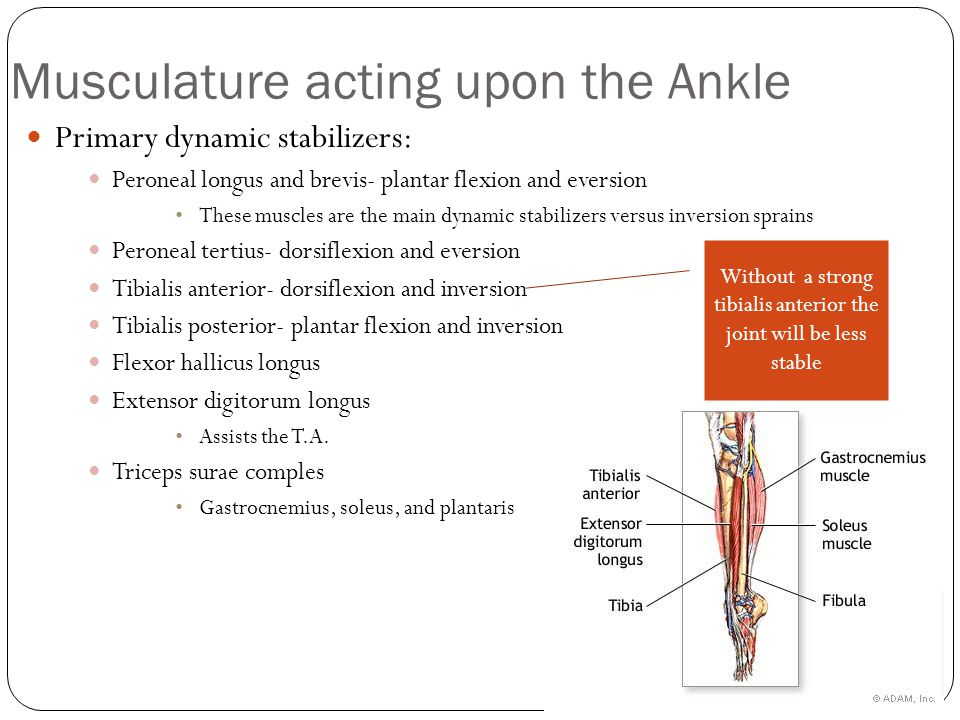Musculature acting upon the Ankle Primary dynamic stabilizers: Peroneal longus and brevis- plantar flexion and eversion These muscles are the main dynamic stabilizers versus inversion sprains Peroneal tertius- dorsiflexion and eversion Tibialis anterior- dorsiflexion and inversion Tibialis posterior- plantar flexion and inversion Flexor hallicus longus Extensor digitorum longus Assists the T.A.