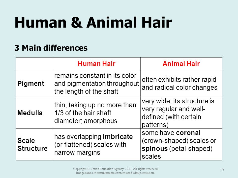 Human & Animal Hair 3 Main differences 19 Human HairAnimal Hair Pigment remains constant in its color and pigmentation throughout the length of the shaft often exhibits rather rapid and radical color changes Medulla thin, taking up no more than 1/3 of the hair shaft diameter; amorphous very wide; its structure is very regular and well- defined (with certain patterns) Scale Structure has overlapping imbricate (or flattened) scales with narrow margins some have coronal (crown-shaped) scales or spinous (petal-shaped) scales Copyright © Texas Education Agency 2011.
