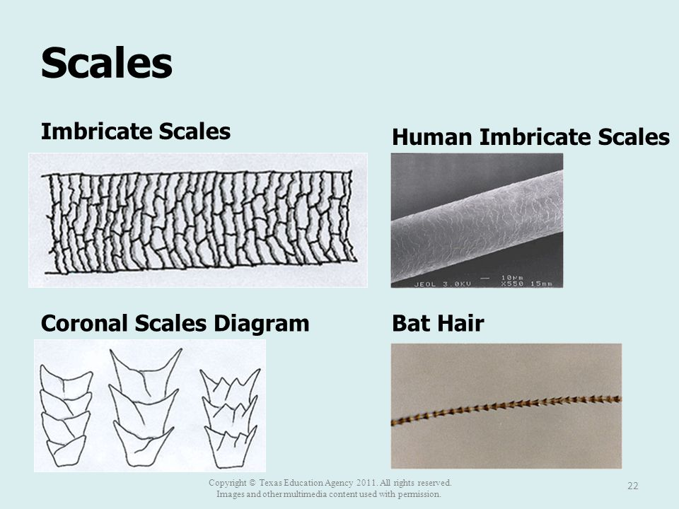 Scales 22 Imbricate Scales Human Imbricate Scales Coronal Scales DiagramBat Hair Copyright © Texas Education Agency 2011. All rights reserved. Images