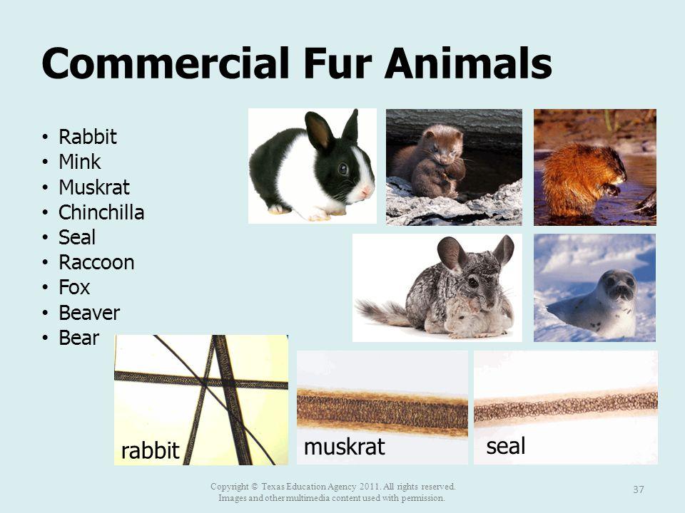 Commercial Fur Animals Rabbit Mink Muskrat Chinchilla Seal Raccoon Fox Beaver Bear 37 rabbit muskrat seal Copyright © Texas Education Agency 2011. All