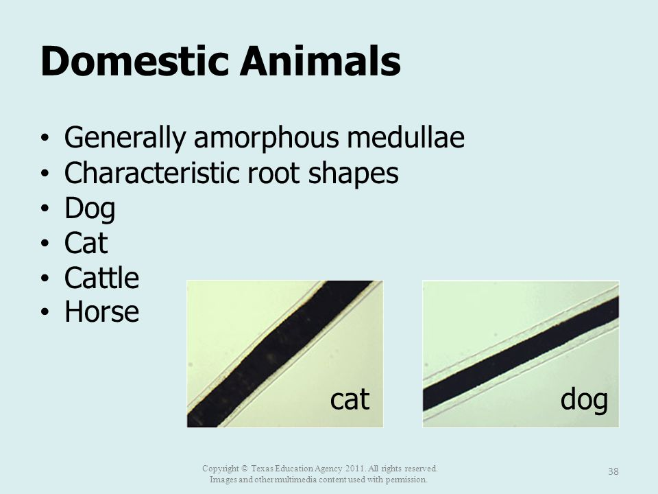Domestic Animals Generally amorphous medullae Characteristic root shapes Dog Cat Cattle Horse 38 catdog Copyright © Texas Education Agency 2011.