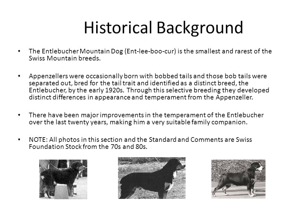 Presented By The National Entlebucher Mountain Dog Association NEMDA The AKC Recognized Parent Club