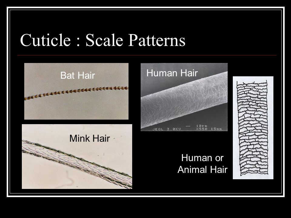 Growth Stages of the Hair: ■ Anagen Stage: The active growth phase of the hair follicle.