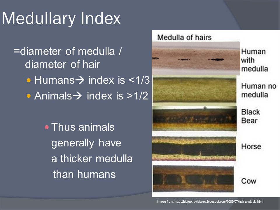 Medullary Index = diameter of medulla / diameter of hair Humans  index is <1/3 Animals  index is >1/2 Thus animals generally have a thicker medulla