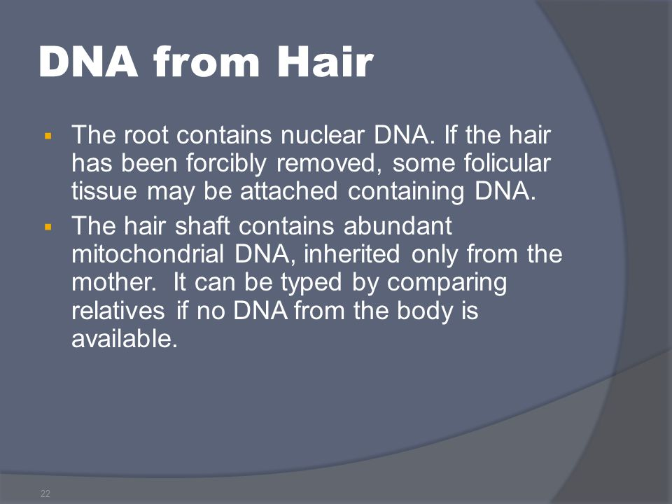 22 DNA from Hair  The root contains nuclear DNA. If the hair has been forcibly removed, some folicular tissue may be attached containing DNA.  The h