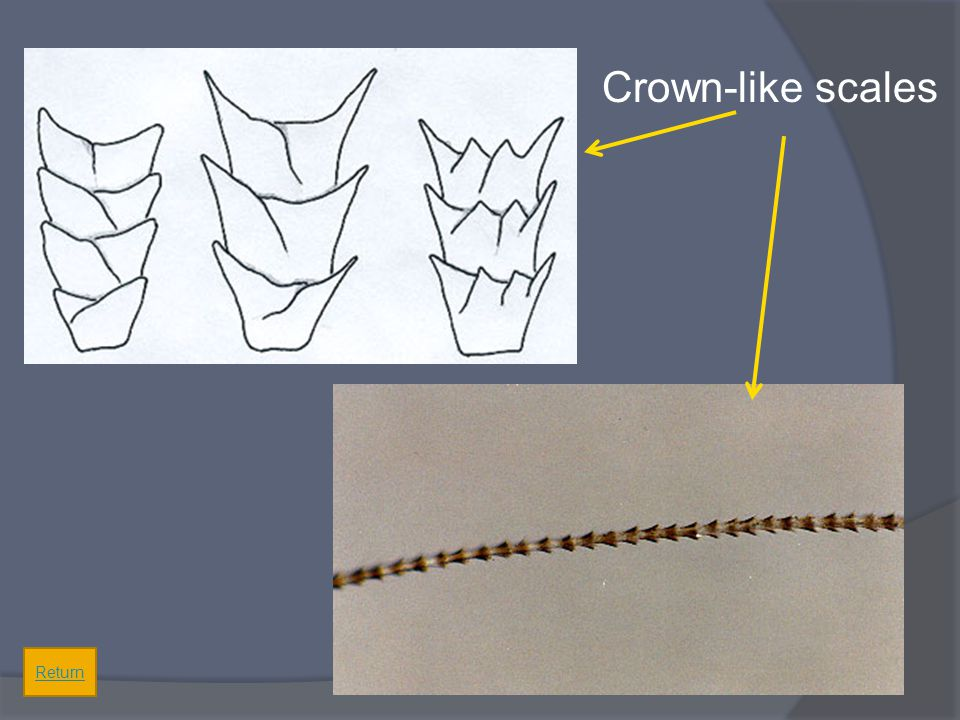 Crown-like scales Return